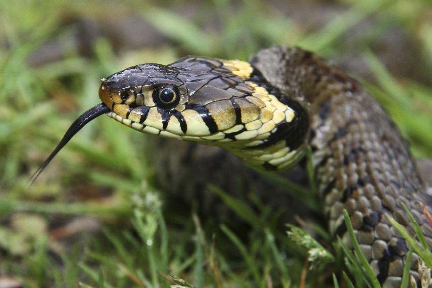 один ядовитые змеи украины фото тройную порцию
